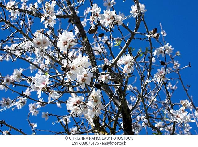Blossoming almond trees on a farm in January in rural Mallorca, Balearic islands, Spain