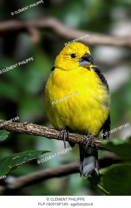 Golden grosbeak / golden-bellied grosbeak / southern yellow grosbeak (Pheucticus chrysogaster) male perched in tree, native to South America