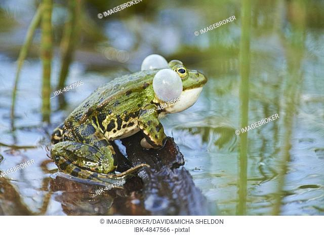 Edible frog (Pelophylax esculentus), sitting on wood in water with sound bubbles, Bavaria, Germany, Europe