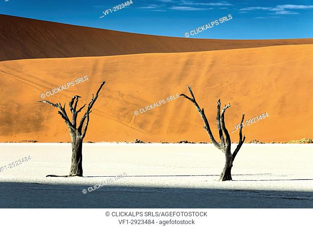 trees of Namibia,namib-naukluft national park, Namibia, africa
