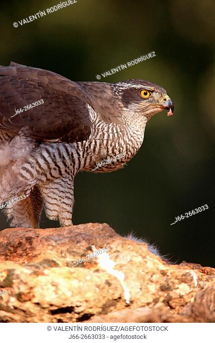 Goshawk (Accipiter gentilis) in the region of the Manchuela. Cuenca