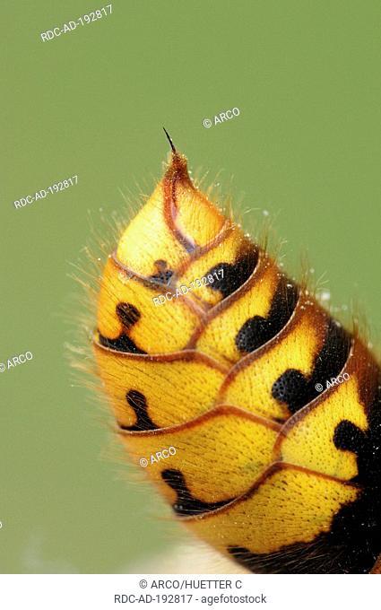European Hornet, sting, Provence, Southern France, Vespa crabro