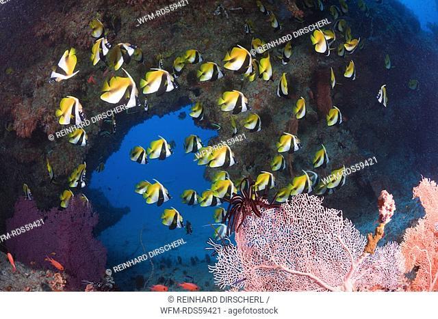 Masked Bannerfish, Heniochus monoceros, Himendhoo Thila, North Ari Atoll, Maldives