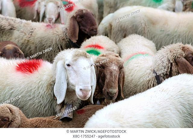 Transhumance - the great sheep trek across the main alpine crest in the Otztal Alps between South Tyrol, Italy, and North Tyrol