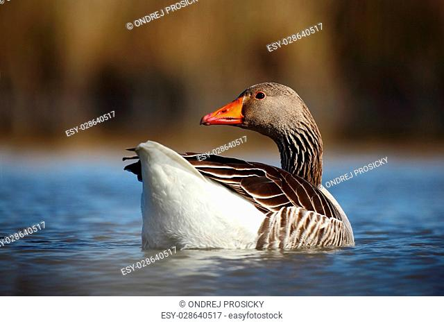 Bird Greylag Goose, Anser anser, floating on the water surface