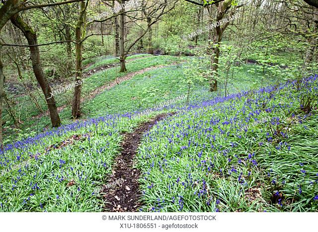 Bluebells in Middleton Woods near Ilkley West Yorkshire England
