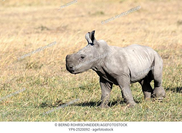 young White Rhinoceros (Ceratotherium simum), Sweetwaters Game Reserve, Kenya