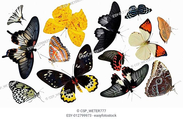 insect collection of butterflies is