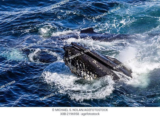 Humpback whale, Megaptera novaeangliae, bubble-net feeding, Dallmann Bay, Antarctica