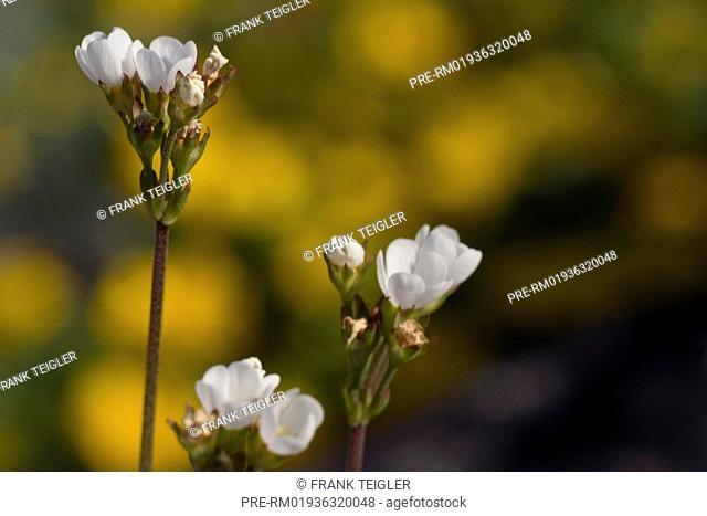 Rock-jasmine, Androsace carneaAndrosace carnea ssp. brigantiaca / Mannsschild, Androsace carnea ssp. Brigantiaca