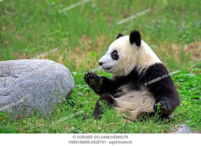 China, Sichuan province, Chengdu, Research Base of Giant Panda Breeding or Chengdu Panda Base, Giant Panda (Ailuropoda melanoleuca), captive