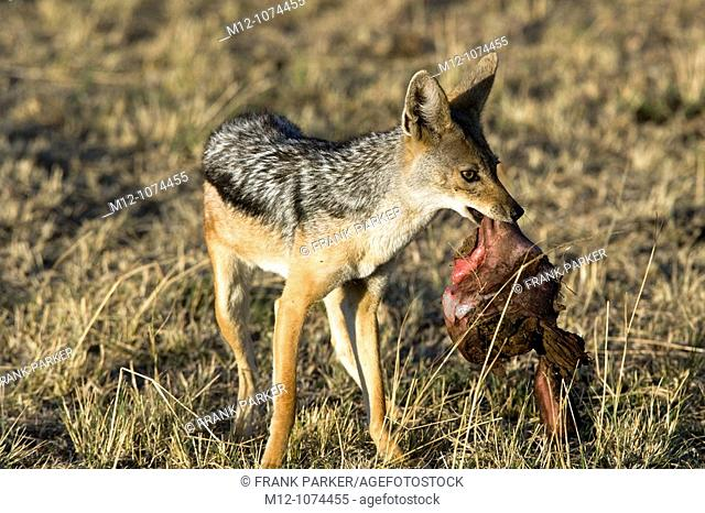 Black Backed Jackal Scavenges on a Topi Lion Kill