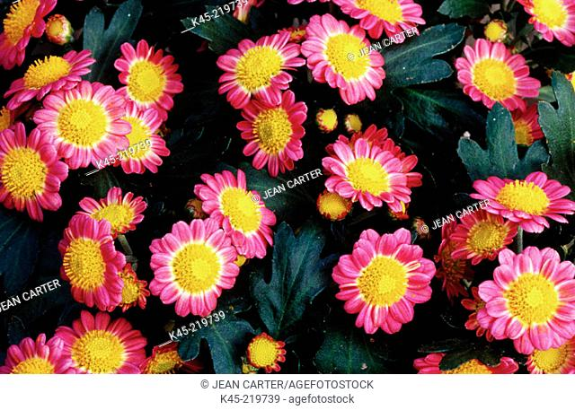 Miniature daisies (Chrysanthemum sp.)