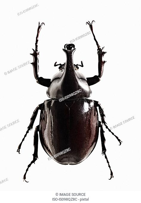 A shiny black beetle