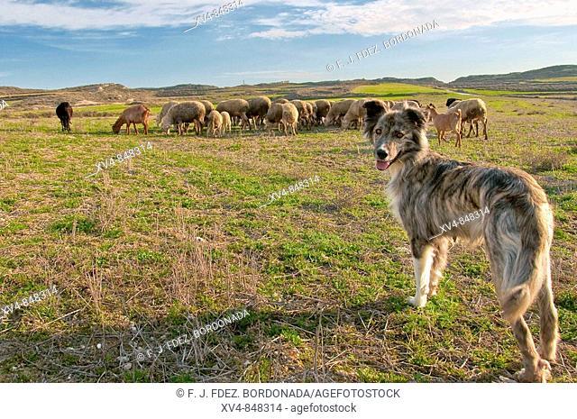 Perro pastor al mando de rebaño de ovejas en Monegros, Zaragoza