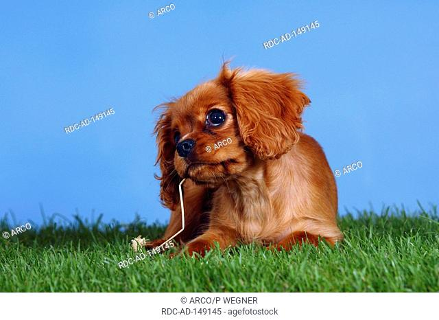 Cavalier King Charles Spaniel puppy ruby 4 month