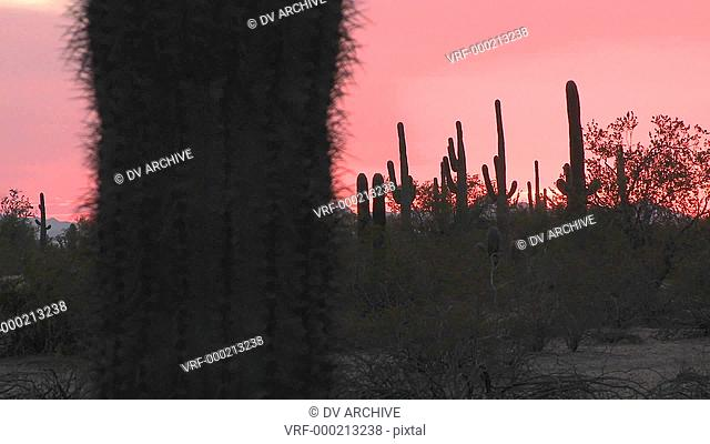 Red desert sunset with a cactus field landscape