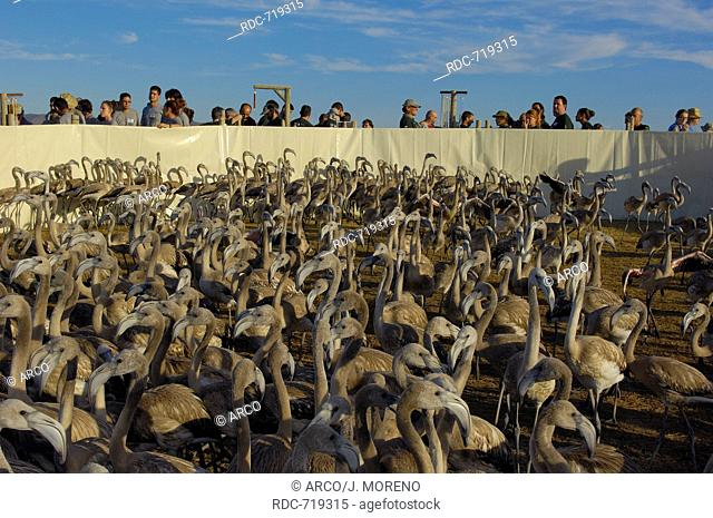 Fuente de Piedra Lagoon, Flamingos in corral before ringing and taking measures, Greater Flamingos (Phoenicopterus ruber), Malaga province, Andalusia, Spain