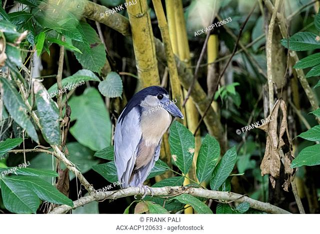 With its massive broad scoop-like bill and very big eyes the Boat-billed Heron is the funniest-looking of all Costa Rican herons
