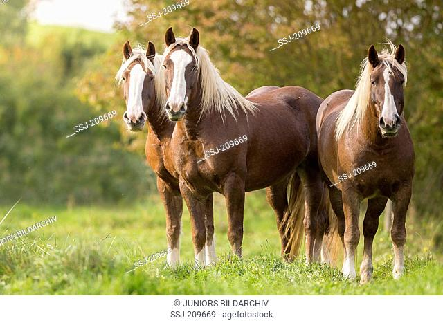Black Forest Horse. Three adults standing on a pasture. Germany