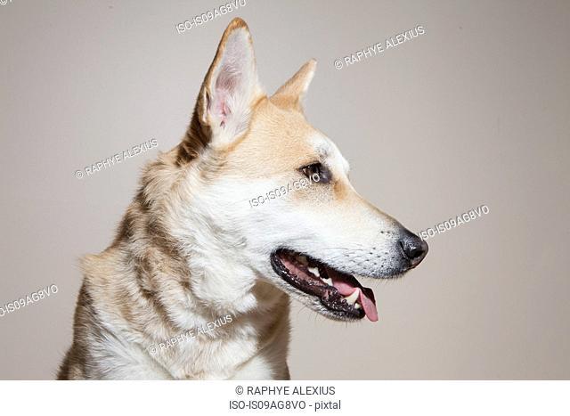 Portrait of cross bred alsatian dog