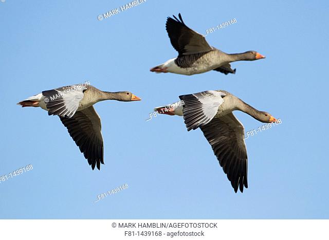 Greylag goose Anser anser three adults in flight, Iceland, April 2010