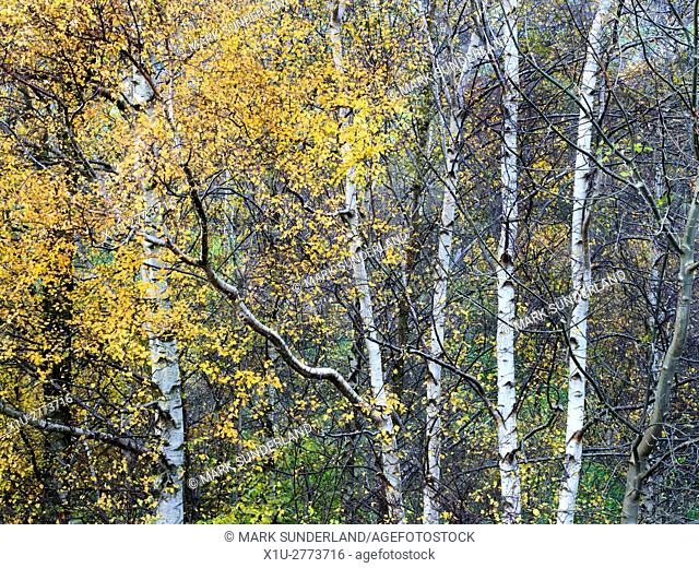 Silver Birch Trees at Harewell Woods near Glasshouses Pateley Bridge North Yorkshire England