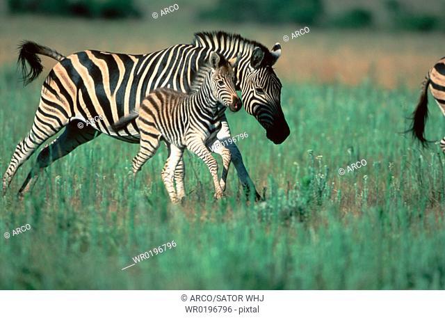 Common, Zebras, mare, with, foal, Pilanesberg, Park, South, Africa, Equus, quagga, burchelli