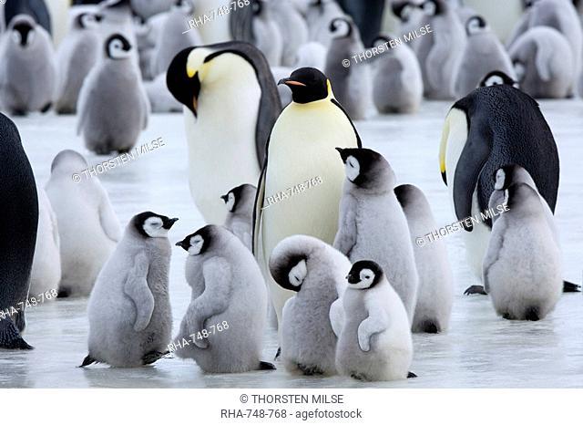 Colony of Emperor penguins Aptenodytes forsteri and chicks, Snow Hill Island, Weddell Sea, Antarctica, Polar Regions
