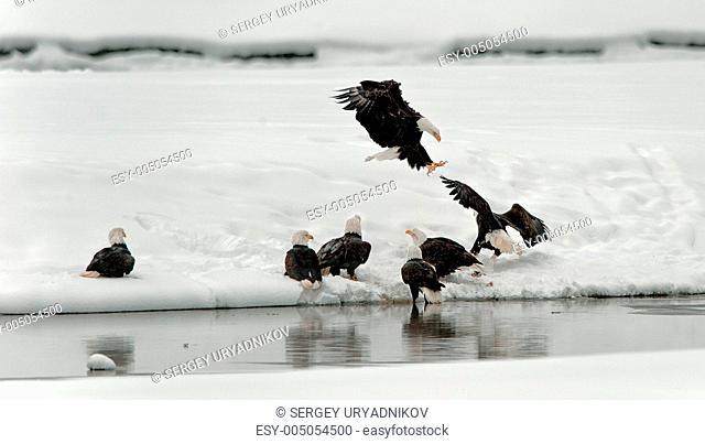 Feeding of Bald eagles Haliaeetus leucocephalus