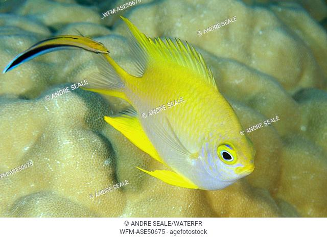 Golden Damsel cleaned by Bluestreak Cleaner Wrasse, Amblyglyphidodon aureus, Labroides dimidiatus, Namu Atoll, Pacific, Marshall Islands