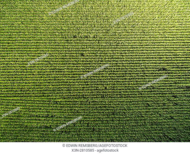An aerial view of rows of soy beans that were planted on a farm located in Federalsburg, Maryland