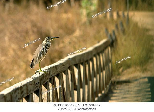 Pond Heron, Ardeola Grayli, Kanha National park, Madhya Pradesh, India