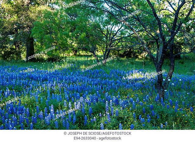 A field of bluebonnet wildflowers surrounded by trees in Texas in the spring