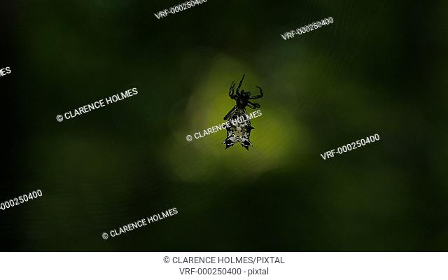A female Spined Micrathena (Micrathena gracilis) orb weaver spider spins its orb shaped web