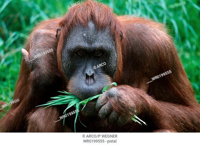 Sumatran, Orang, Utan, female,Pongo, pygmaeus, abelii