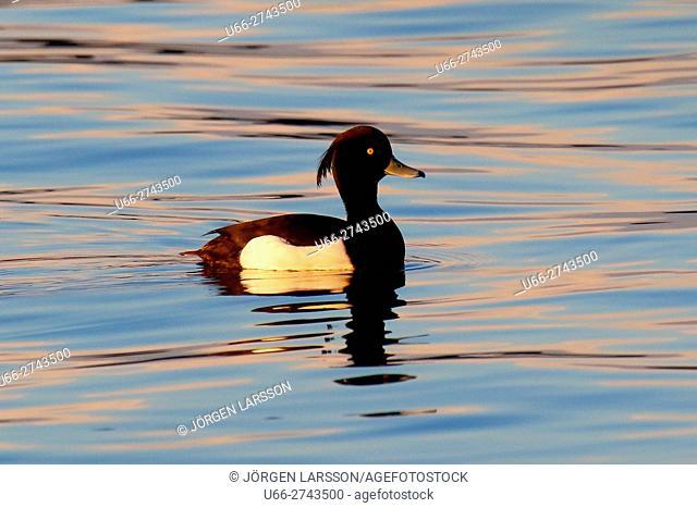 Tufted Duck (Aythya fuligula), Botkyrka, Sweden