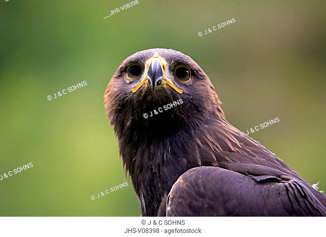 Golden Eagle, (Aquila chrysaetos), adult portrait, Germany, Europe