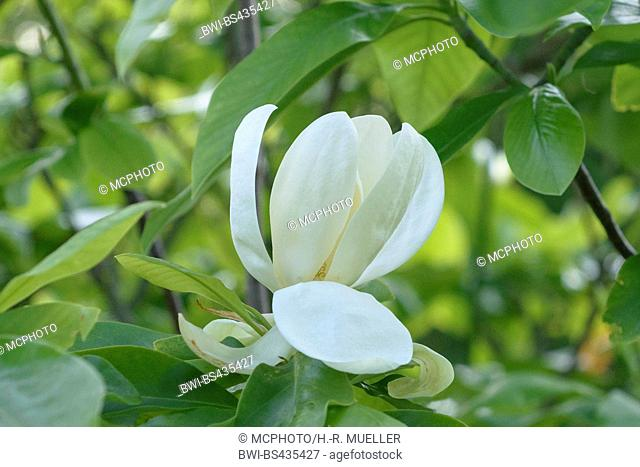 Thomson magnolia (Magnolia x thompsoniana, Magnolia thompsoniana), flower