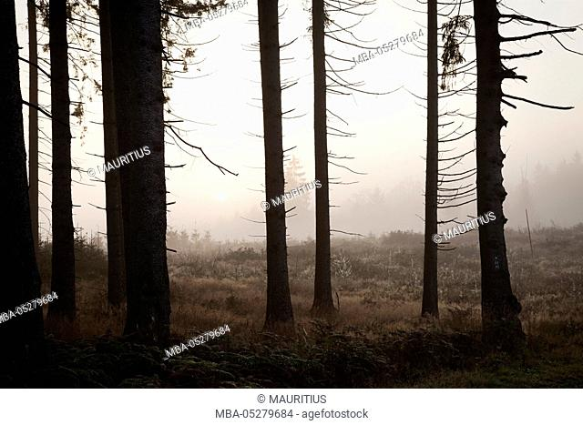 Spruce forest and clearing in early morning fog