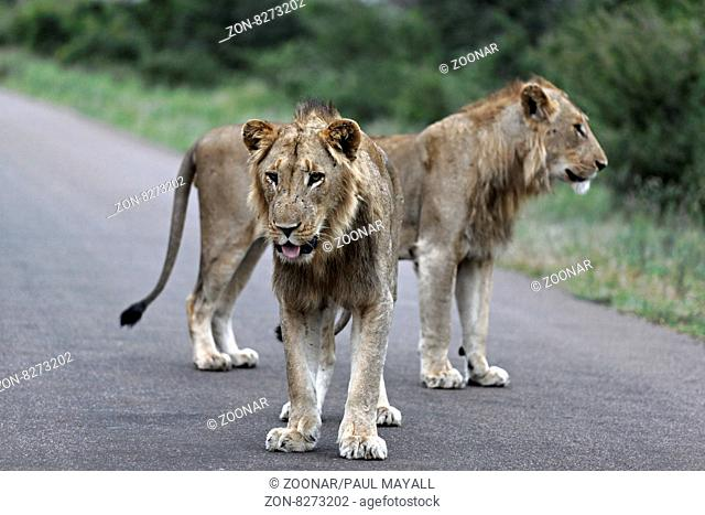 Male African Lions ( Panthera leo ) on a road, Kruger National Park, South Africa
