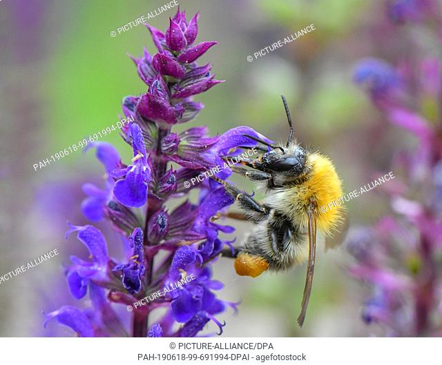 16 June 2019, Brandenburg, Sieversdorf: A field bumblebee (Bombus pascuorum) looks for nectar on a plant in a garden. the Ackerhummel carries a red-brown until...