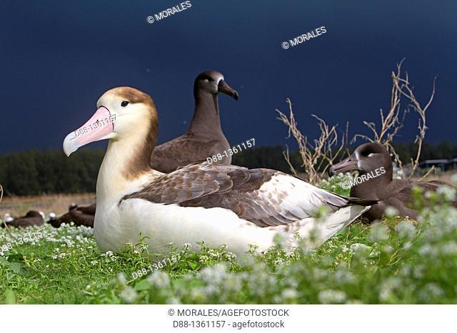 Hawaï , Midway , Sand Island , Short-tailed Albatross or Steller's Albatross  Phoebastria albatrus  , immature