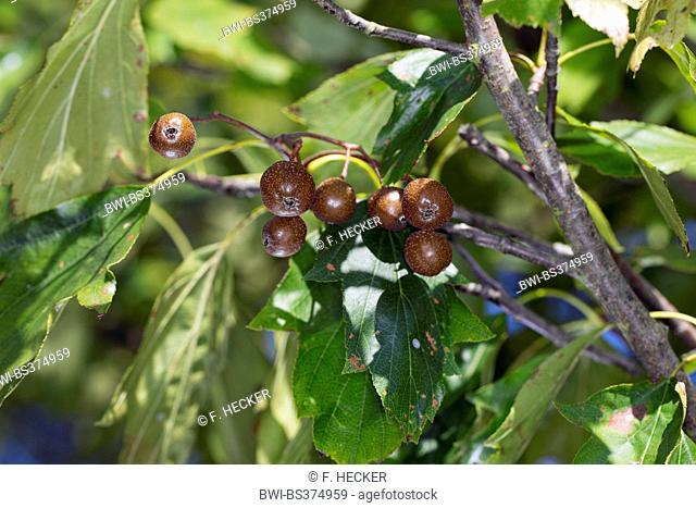 wild service tree (Sorbus torminalis), branch with fruits, Germany