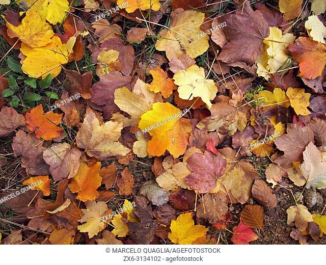 Maple autumn leaves. Montseny Natural Park. Barcelona province, Catalonia, Spain