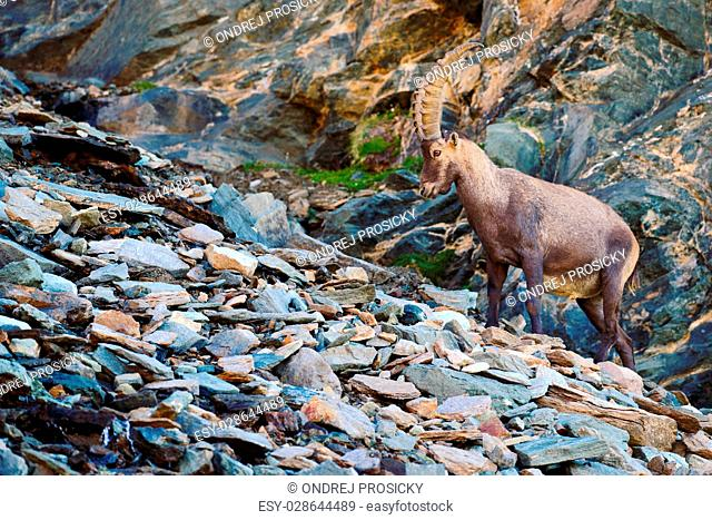 Antler Alpine Ibex, Capra ibex, with coloured rocks in background