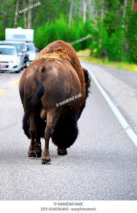 Bison ambles down the road in Yellowstone National Park. Automobiles are stopped giving large animal right of way