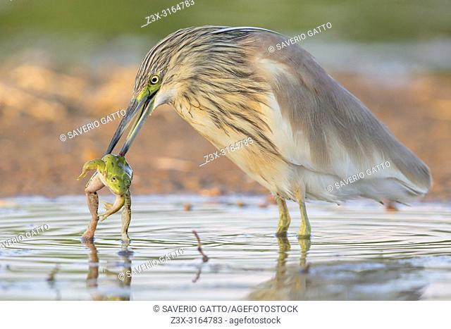 Squacco Heron, with a caught frog, Campania, Italy (Ardeola ralloides)