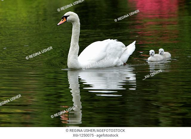 Mute Swan Cygnus olor, parent bird swimming on lake with two cygnets, Germany