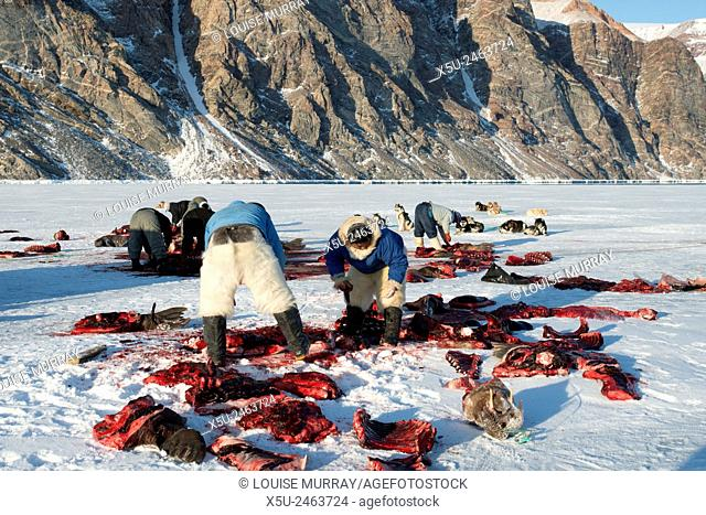 Walrus hunting in the arctic spring is from a boat and the traditional hunters use a harpoon to kill the animals. THe walrus is hauled away from the ice edge by...